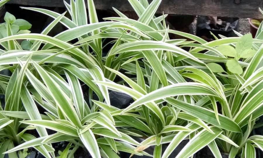 צמח עכביש – Spider Plant